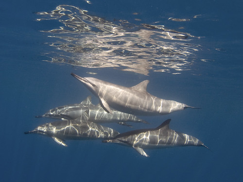 Hawaiian Spinner Dolphins | by bodiver