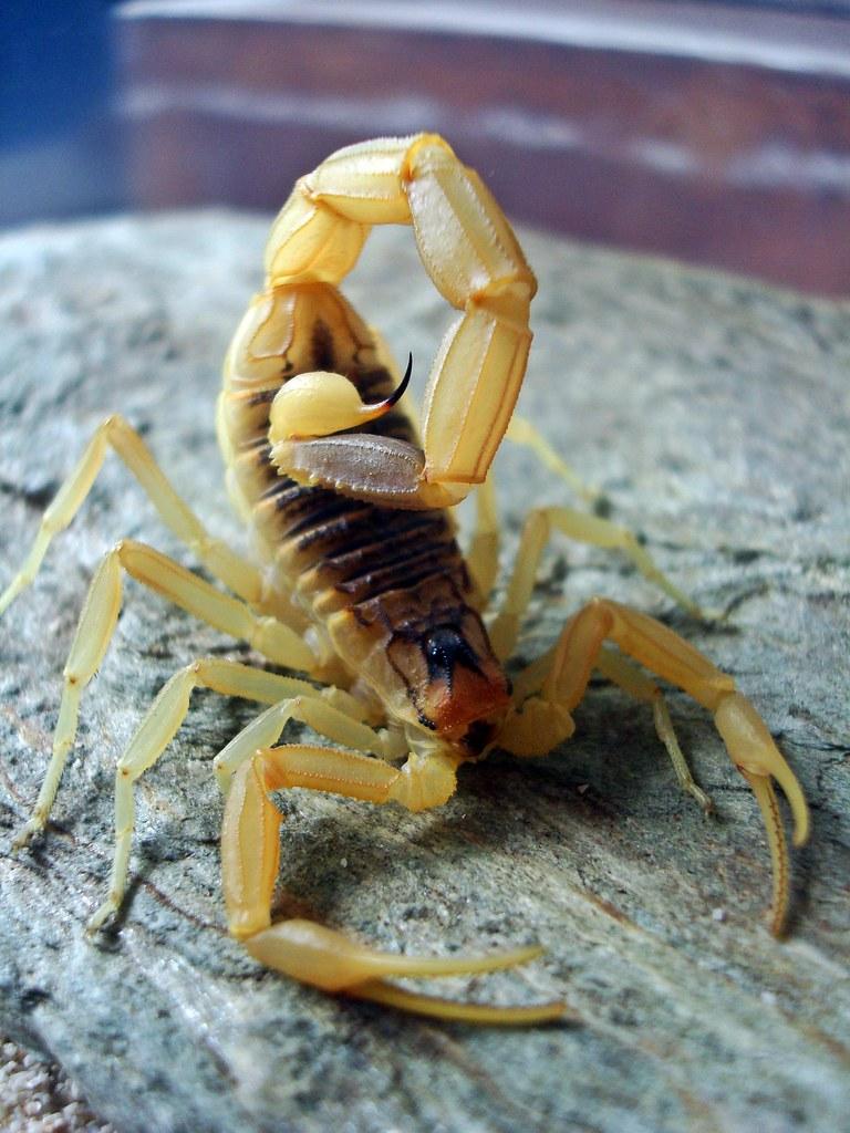 "Leiurus quinquestriatus ""deathstalker"" | Aaron Saguyod ..."