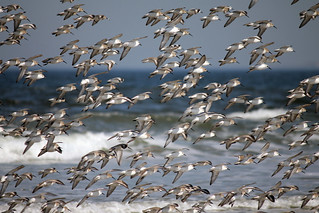 Sanderlings and Sandpipers at Plum Island, Massachusetts | by nelights