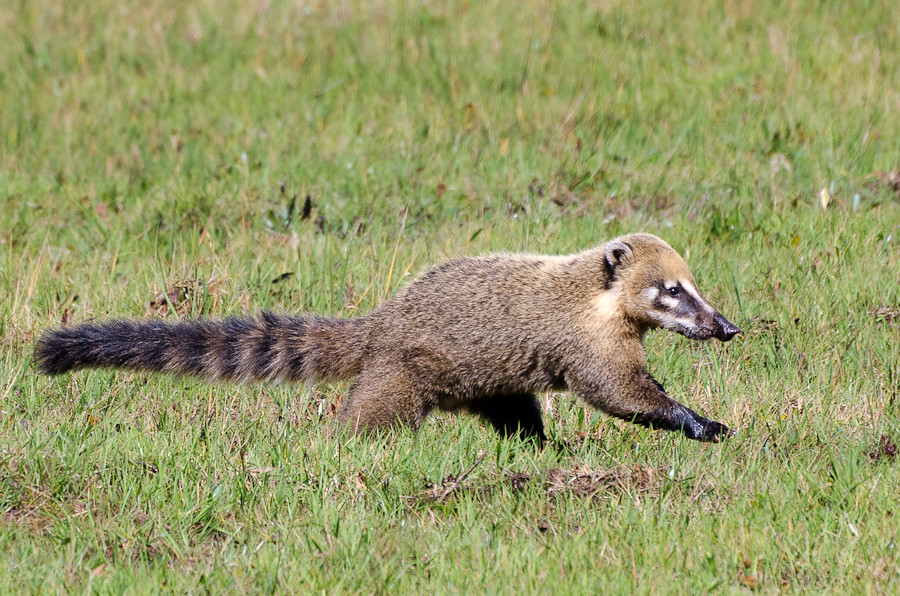Ring Tailed Coati David Schenfeld Flickr
