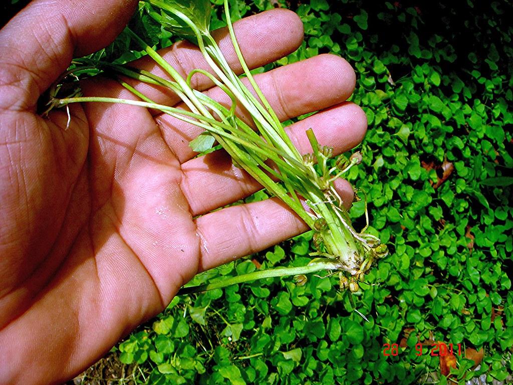 Centella asiatica выращивание 31