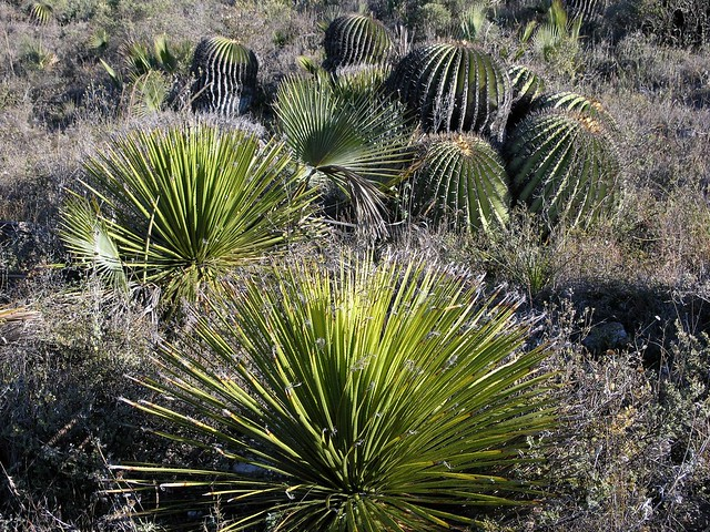 Palmas biznagas palms barrel cactus al norte de for Cactus santiago