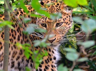 Chinese Leopard appears through the bushes! | by One more shot Rog