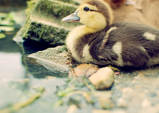 Duckling | by SOMETHiNG MONUMENTAL