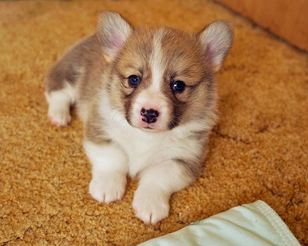 Corgi Puppies 2 | Daniel Stockman | Flickr