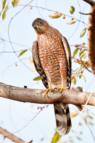 Hawk in the yard | by RBerteig