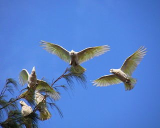 White Parrots | by NZ#1