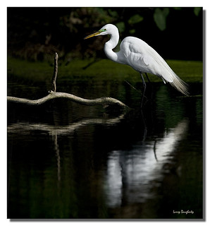 A great egret relaxing in the shallow water at Audubon Park... | by Larry Daugherty