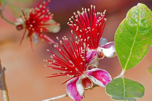 la fleur avant le fruit fleur de feijoa goyave ananas flickr. Black Bedroom Furniture Sets. Home Design Ideas