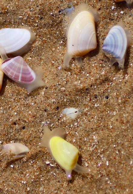 Coquina, Donax variabilis (series) | Flickr - Photo Sharing!