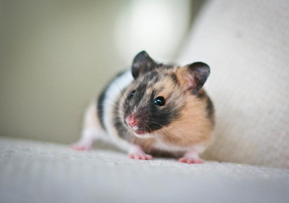 Trista - Black Tortoiseshell Banded SH Syrian hamster | Flickr