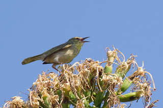 Stripe-throated Jery IMG_9694-4.jpg | by BobLewis