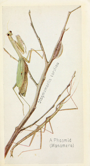 A beautiful illustration of a Carolina mantis and a walking stick