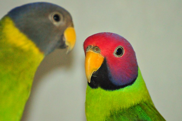 Recent Photos Th...Yellow Green Parakeet