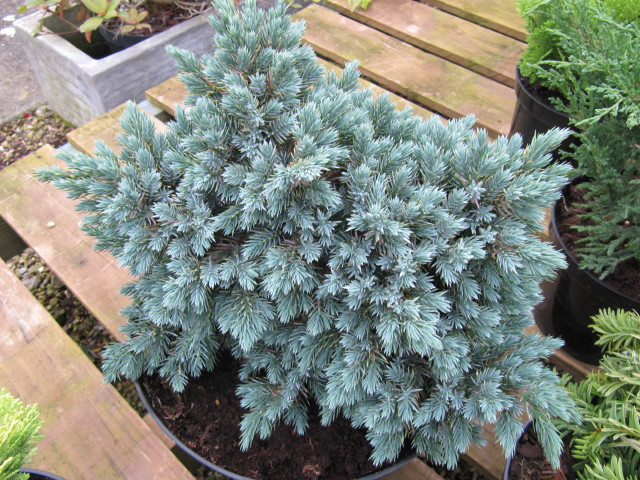 juniperus chinensis 39 blue star 39 leonora ellie enking flickr. Black Bedroom Furniture Sets. Home Design Ideas