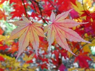 Leaves of a Japanese Maple | by Stanley Zimny (Thank You for 27 Million views)