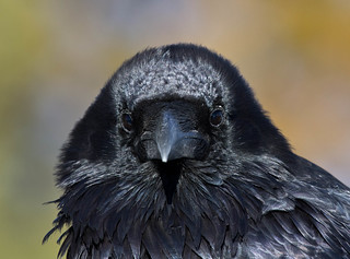 Common Raven | by Laura Erickson