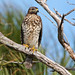 Juvi. Red-shouldered Hawk - Buteo lineatus