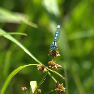 Damselfly 1 | by theexileinny