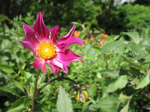 Dahlia | by Brooklyn Botanic Garden
