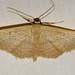 Borboleta Noturna // Moth (Idaea obsoletaria)