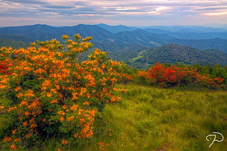 Roan Mountain Flame Azalea HDR 06 | by Jim Dollar