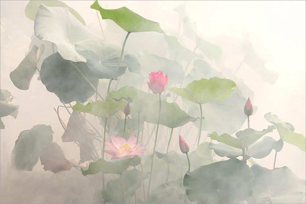 lotus flower img10951 lotus flower black bg please