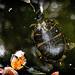 Murky Turtle