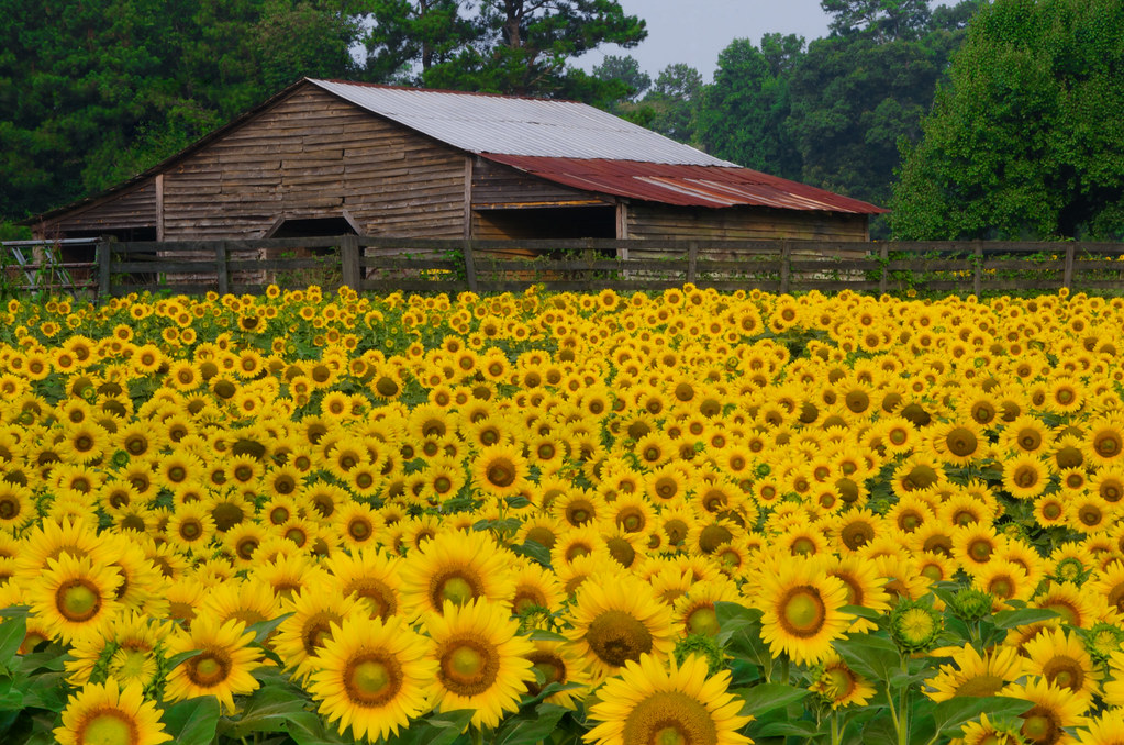 sunflowers amp barn these cheery sunflowers are blooming