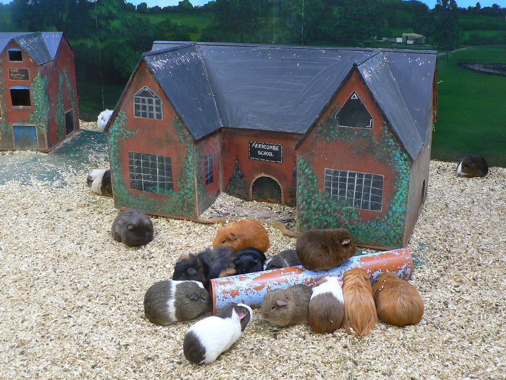 Massive guinea pigs or small house bruce stokes flickr for Guinea pig homes