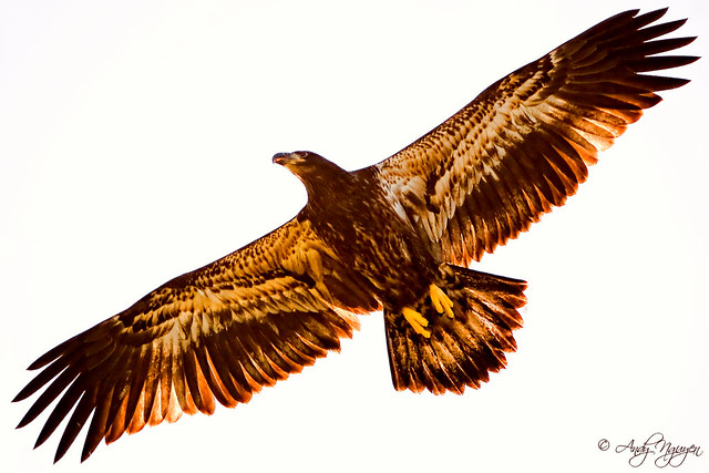 golden eagle wing