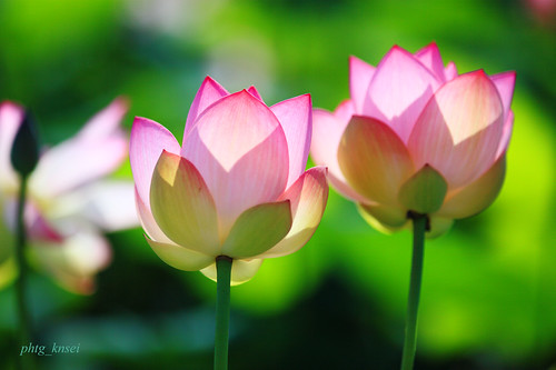 Twin lotus | by phtg_knsei