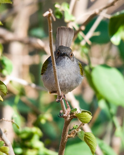 Gray-backed Camaroptera | by dermoidhome