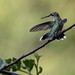 ruby-throated hummingbird_on-perch_7-15-11PM_067