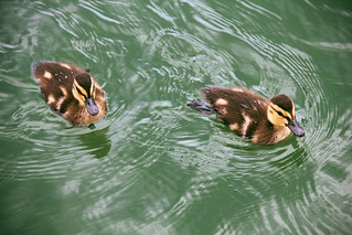 Baby Quakers | by walker4412