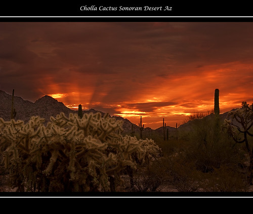 Cholla at Sunrise | by Alfredo Hernandez Photography