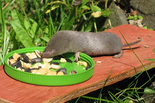 how to get rid of northern short tailed shrew