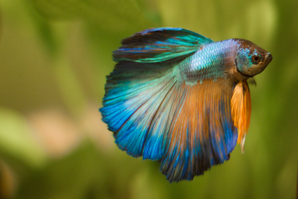 Genie the gold and turquoise halfmoon betta genie the for Halfmoon betta fish
