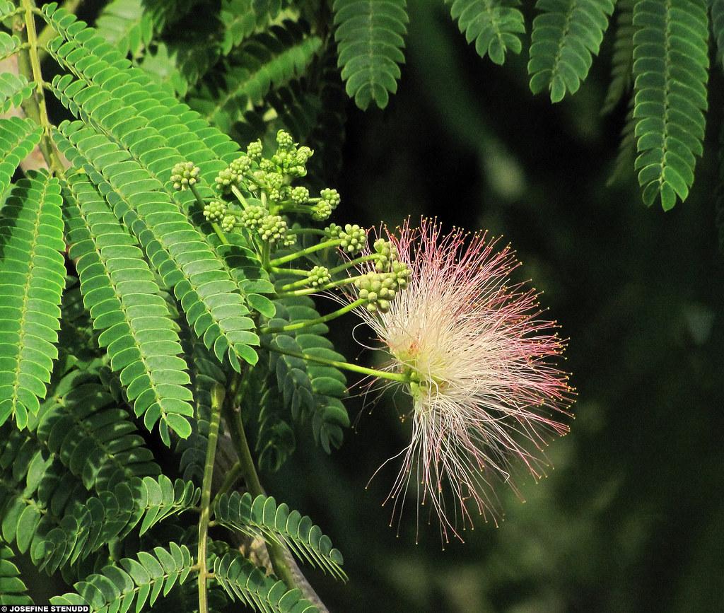 20110607087 Brushy Pink White Flower Of Persian Silk T Flickr