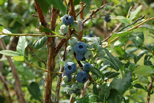 Bluberries by Eve Fox, Garden of Eating blog, copyright 2011 | by Eve Fox