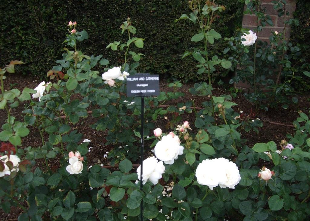 david austin roses the 39 william and catherine 39 rose. Black Bedroom Furniture Sets. Home Design Ideas
