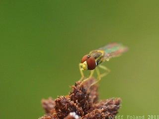 Hoverfly | by Jfoland