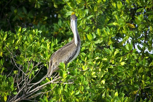 Brown pelican sitting on the mangrove tree | by morn83