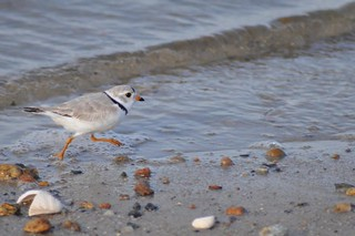 Piping Plover | by U. S. Fish and Wildlife Service - Northeast Region