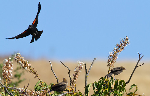 Red-winged Black Bird | by Davor Desancic