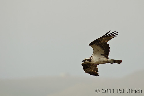 Osprey fly-by | by Pat Ulrich