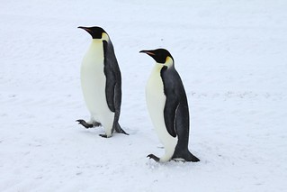 Antarctica: Emperor Penguins at Scott Base | by eliduke