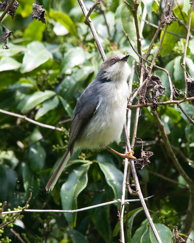 Gray Apalis | by dermoidhome