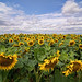 Army of Sunflowers