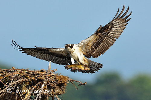 Osprey Chick with Catfish | by Kim Taylor Hull